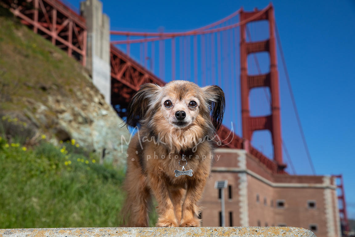 Brown Papillon Mix Dog at Ft Point and Golden Gate Bridge