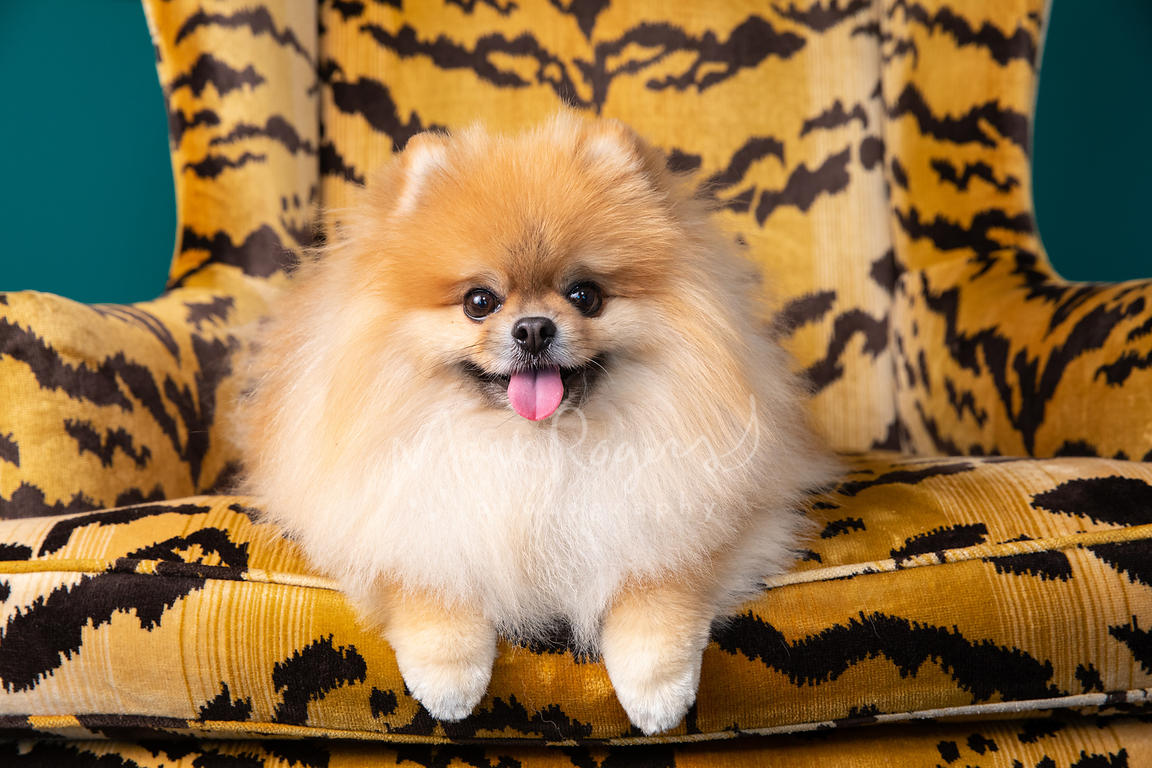 Close-up of Smiling Pomeranian in Orange Striped Orange Chair