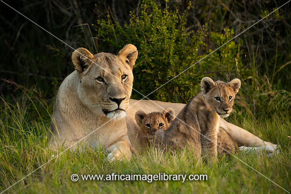 Lioness with cubs, Panthero leo, Sibuya Game Reserve, South Africa