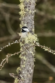 Black-capped Chickadee in Minnesota's Sax-Zim Bog