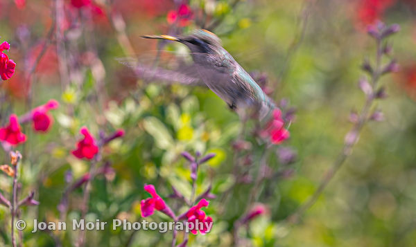 Hummingbird_Journey_XIII