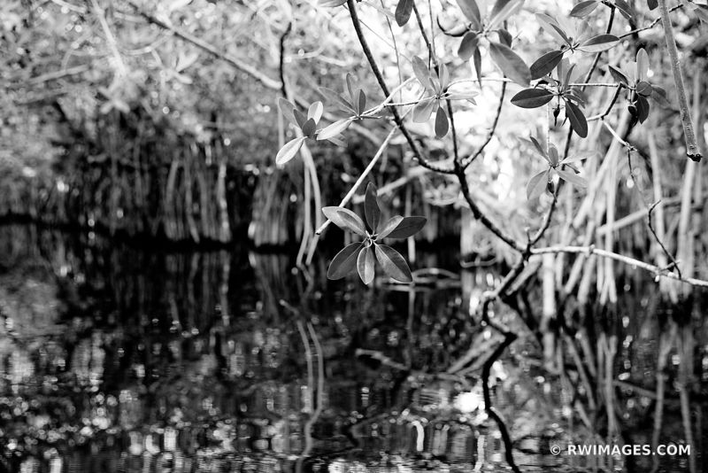 TURNER RIVER MANGROVES BIG CYPRESS NATIONAL PRESERVE EVERGLADES FLORIDA BLACK AND WHITE