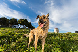 Brindle Shepherd Mix Dog Looking Left on Hill in SF Park