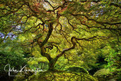 Magical Maple No. 1, Portland Japanese Garden, Oregon