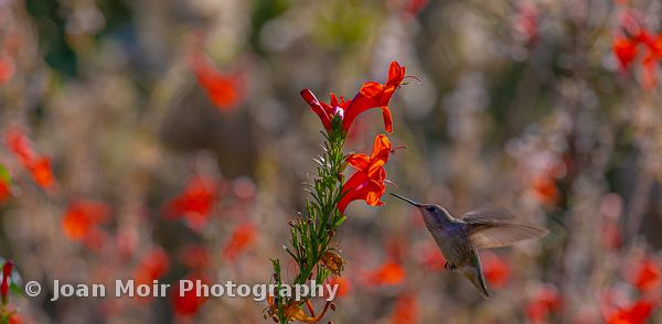 Hummingbird_Fall_Magic_II