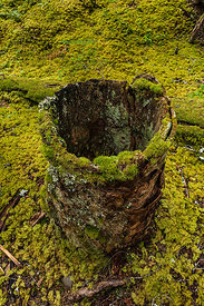 Hollow Stump in the Mossy Woods of Olympic National Forest
