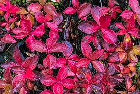 Red Bunchberry Leaves in Kootenay National Park