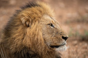 Male lion, Panthero leo, Balule Game Reserve, South Africa