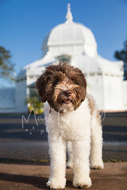 Schnauzer Dog at Conservatory of Flowers