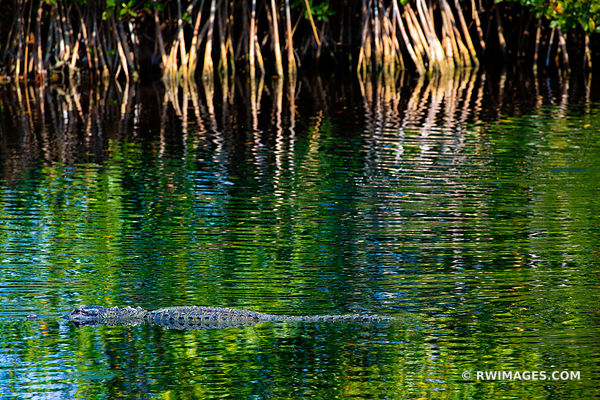 ALLIGATOR BIG CYPRESS NATIONAL PRESERVE EVERGLADES FLORIDA