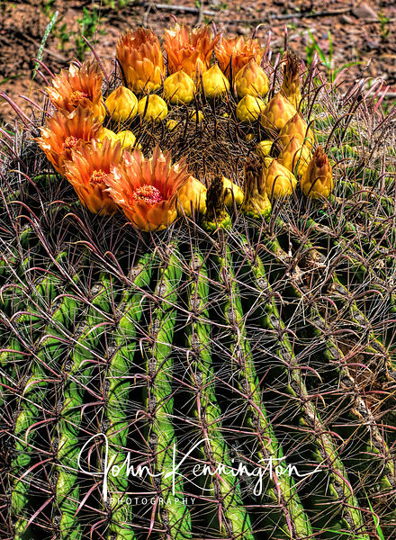 Fishhook Barrel Cactus No. 13, Organ Mountains-Desert Peaks National Monument, New Mexico
