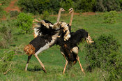 Common ostriches fighting, Struthio camelus, Addo Elephant National Park, South Africa