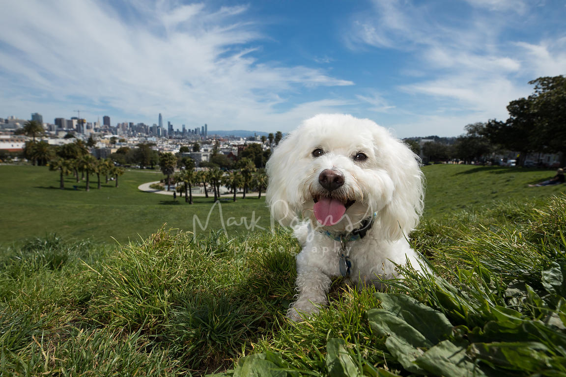 White Poodle Lying Down at Duboce Park in San Francisco with City Skyline Behind