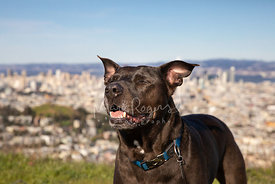 Dark Brown Pit Bull with Eyes Closed on Twin Peaks