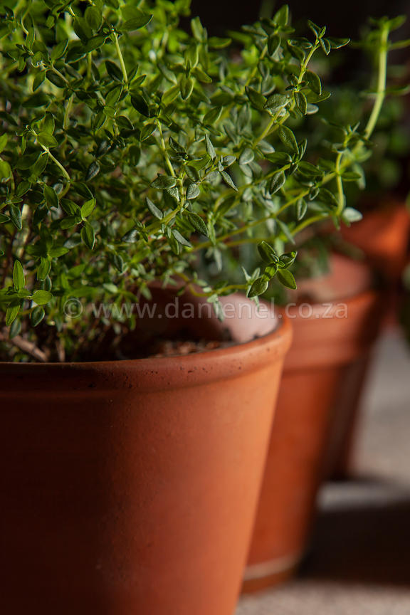 A potted herb garden with thyme in foreground