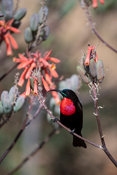 Scarlet-chested sunbird, Chalcomitra senegalensis, Zimanga Game Reserve, South Africa