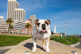 Smiling English Bulldog in Park on San Francisco Embarcadero near Ferry Building