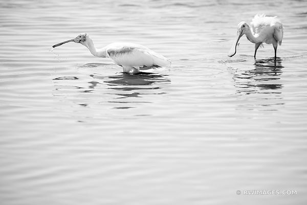 ROSEATE SPOONBILL BIRDS BIG CYPRESS NATIONAL PRESERVE EVERGLADES FLORIDA BLACK AND WHITE