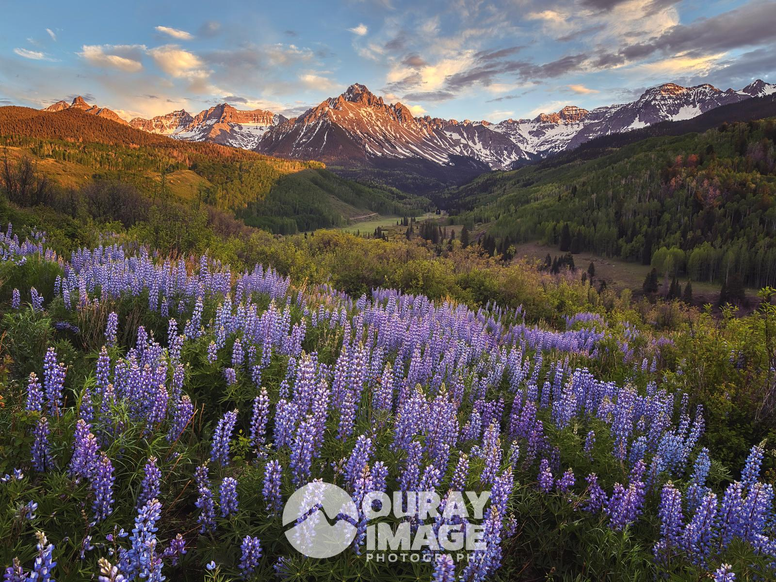 Lupine Bloom, Mount Sneffels