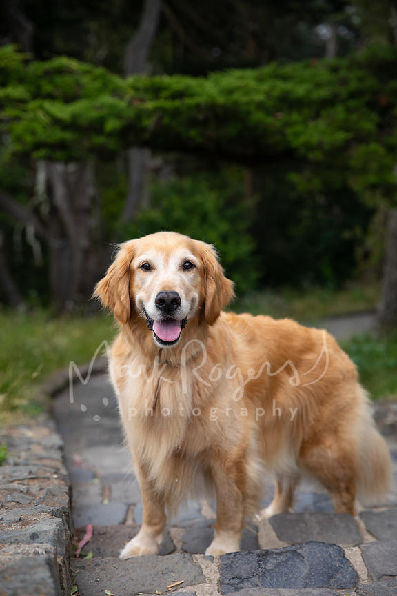 Smiling Senior Golden Retriever Dog on Steps