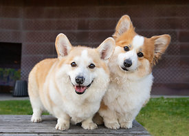 Two Corgis Tilting Heads in Front of DeYoung Museum
