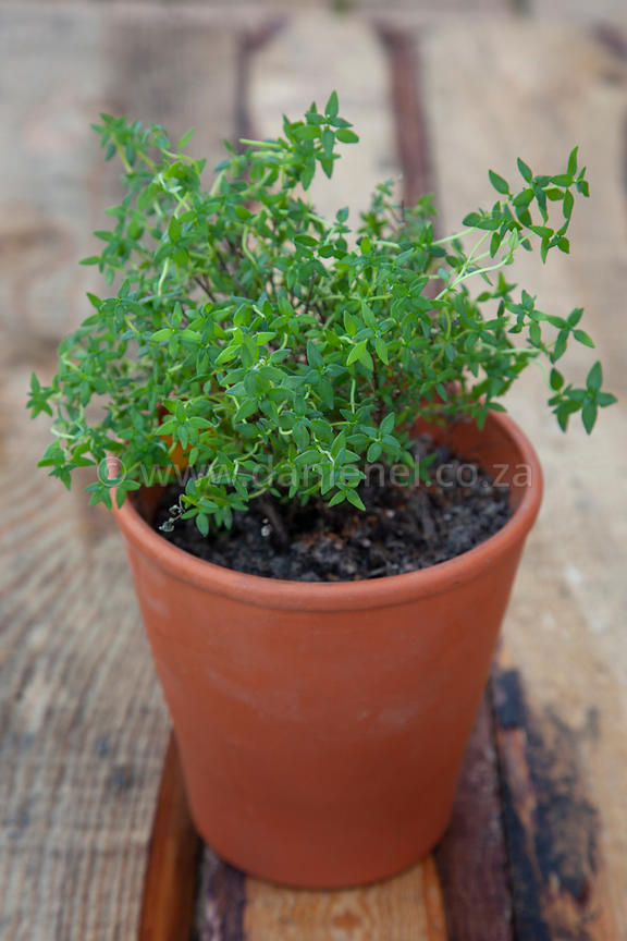 Homegrown thyme in a terracotta pot