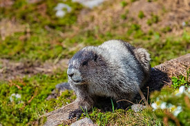 Hoary Marmot in Mount Rainier National Park