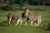 Burchell's zebras fighting, Equus burchellii, Kariega Game Reserve, South Africa