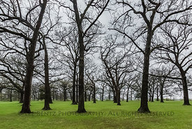 Bur Oak Grove at a Rest Area along Interstate 80 in Illinois