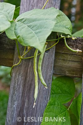 Green Pole Beans on the Vine