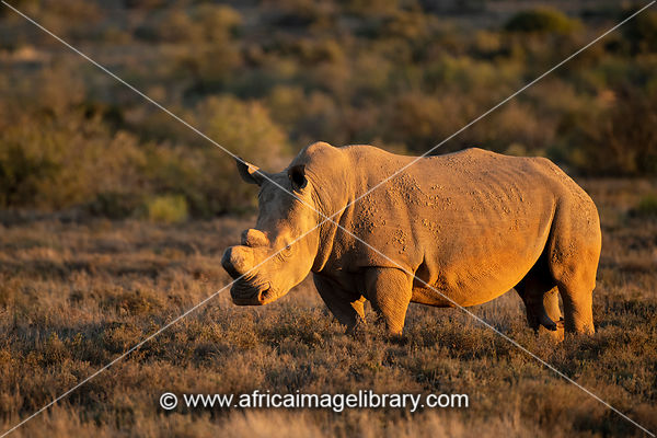 White rhinoceros, Ceratotherium simum, Samara Game Reserve, South Africa