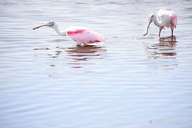 PINK ROSEATE SPOONBILL BIRDS BIG CYPRESS NATIONAL PRESERVE EVERGLADES FLORIDA COLOR