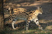 Serval, Leptailurus serval, Emdoneni, South Africa
