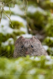 Vole along Lake O'Hara in Yoho National Park