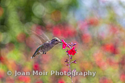 Hummingbird_Journey_XII