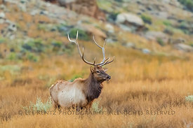 Mature Bull Elk with Large Rack of Antlers in Chaco Canyon