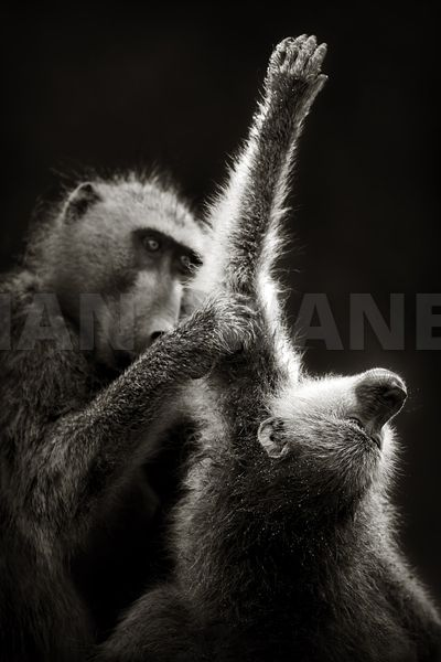 Two Chacma baboons grooming - b&w fine art