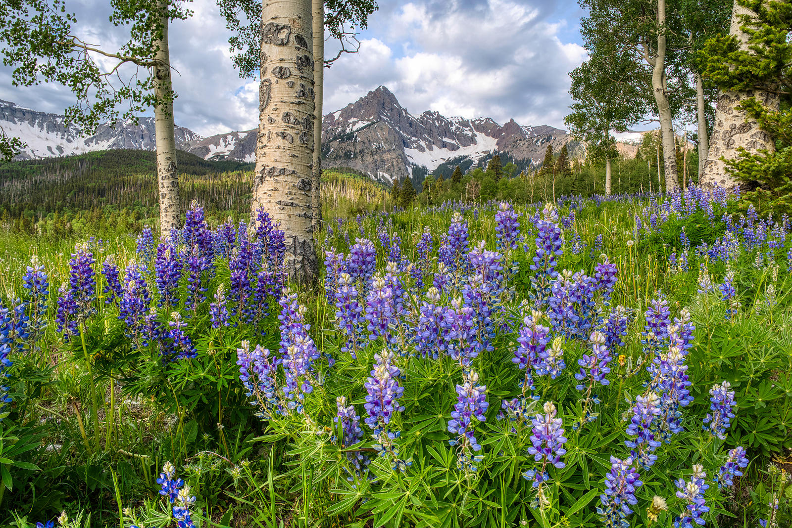 Lupine Bloom, Sneffels Range