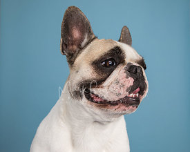 French Bulldog Looking to Right against Light Blue Background