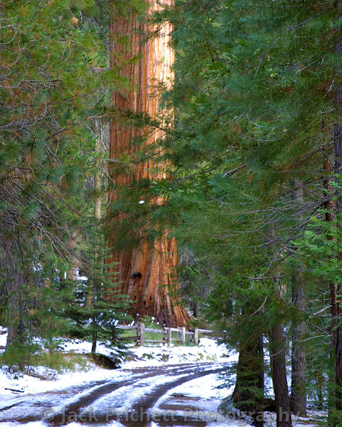 Sequoia in the silent woods