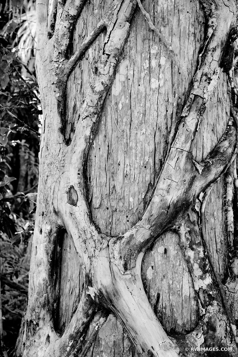 STRANGLER FIG BIG CYPRESS BEND FAKAHATCHEE STRAND PRESERVE STATE PARK EVERGLADES FLORIDA BLACK AND WHITE VERTICAL