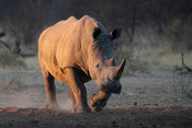White rhinoceros, Ceratotherium simum, Dinokeng Game Reserve, South Africa