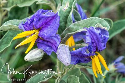 NIghtshade, Aguirre Springs, New Mexico