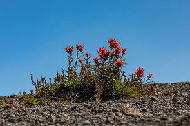 Indian Paintbrush in Mount St. Helens National Volcanic Monument
