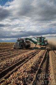 Onion harvest in Oregon.