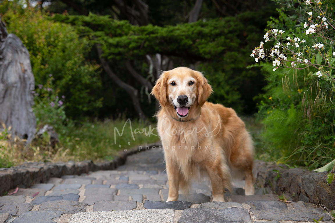 Smiling Senior Golden Retriever on Stone Steps