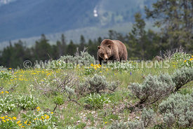 grizzly_bear_tetons_06202020-61