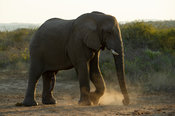 African elephant, Loxodonta africana africana, Thula Thula Game Reserve, South Africa