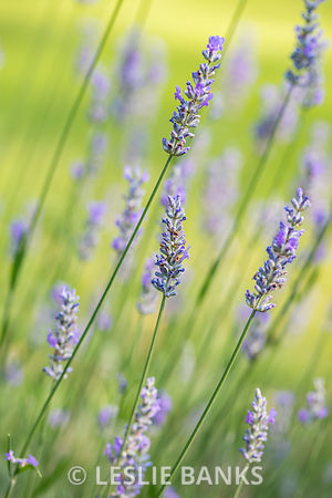 Lavender Plant in the Garden