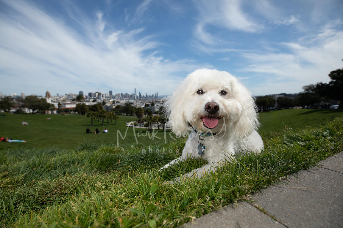 Smiling White Poodle Lying Down at Duboce Park in San Francisco with City Skyline Behind